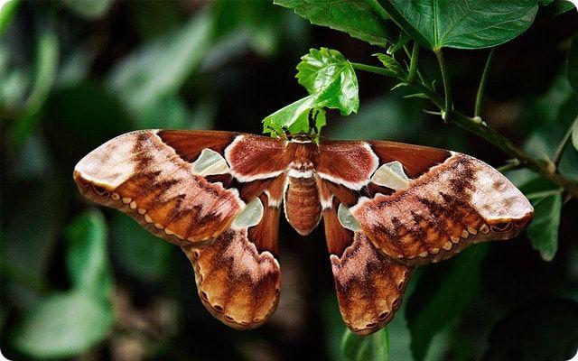 Atlasspinner im Schmetterlingspark Sassnitz
